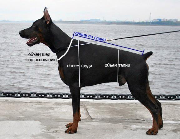 Как измерить своего Добермана?